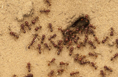 Ants, Anthill, Swarm