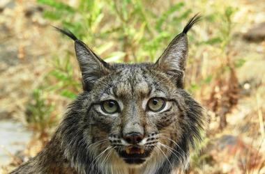 Lynx Conversation