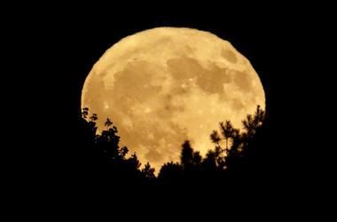 Golden harvest moon rising above tree tops
