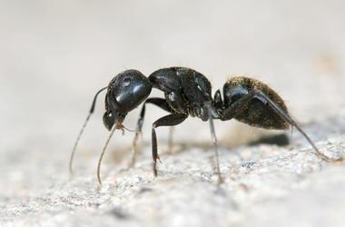 Ant Heist