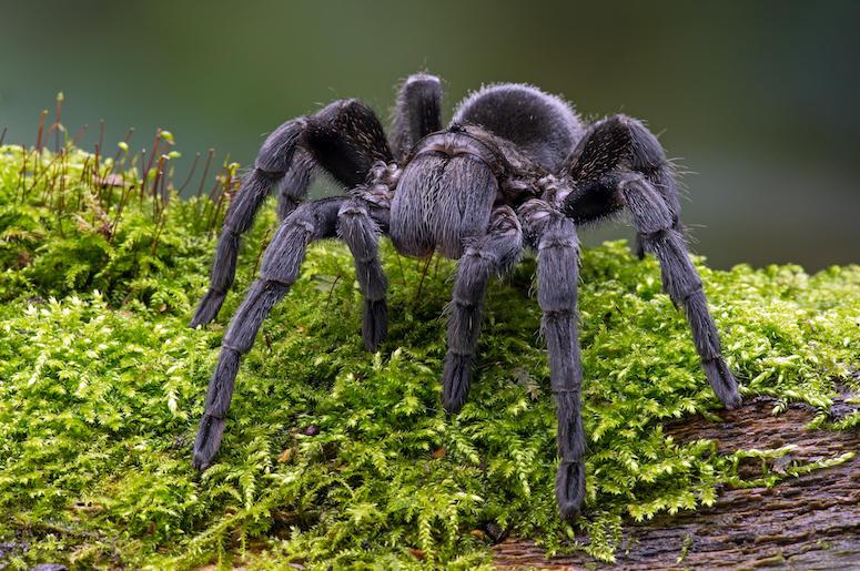Brazilian Black Velvet Tarantula, Outdoors, Grass, Black, Giant, Spider, Mossy Log