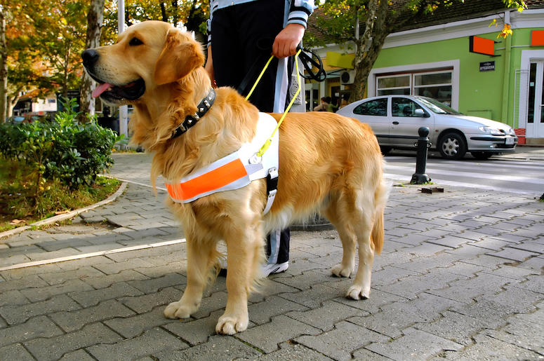 Guide Dog, Seeing Eye Dog, Blind Human, Pet, Owner, Animal, Pup, Dog, Golden Retriever