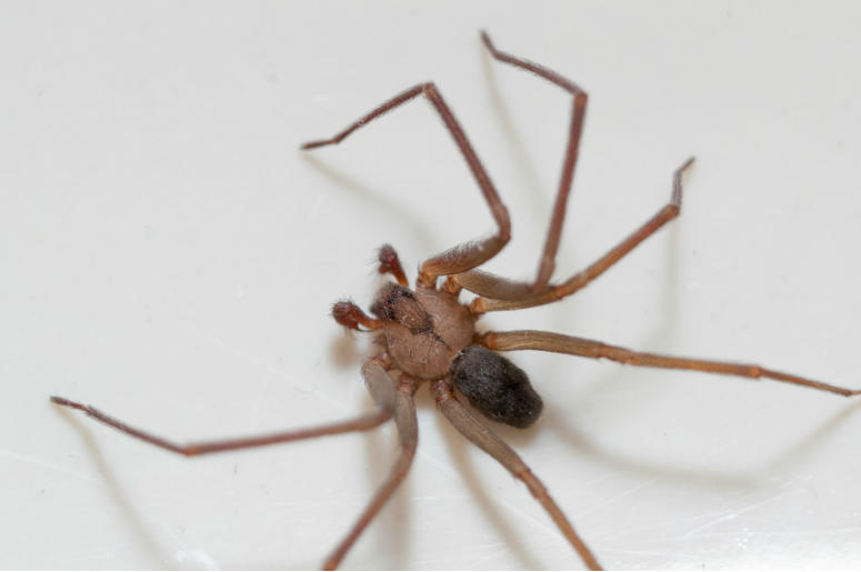 Spiders,Brown Recluse,50,Infestation,Bites,Hospital,100.3 Jack FM
