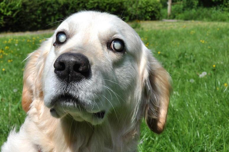 Blind, Dog, Eyes, Golden Retriever, Outdoors, Yard