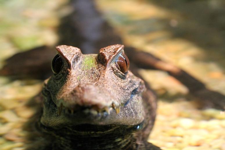 Baby Alligator, Water, Head, Close Up, Gator