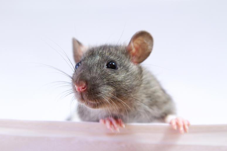 Rat, Mouse, Close Up