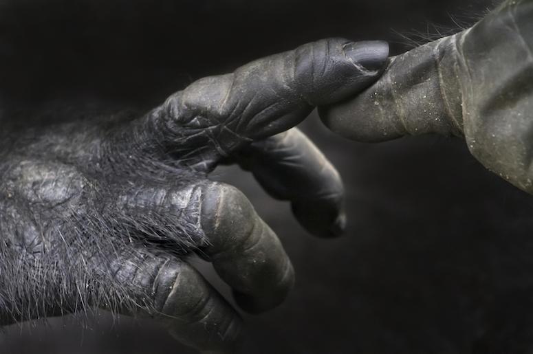 Gorilla, Hands, Close Up