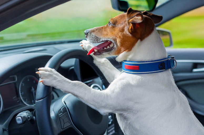 Dog, Front Seat, Car, Steering Wheel, Jack Russell Terrier