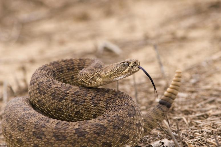 Rattlesnake, Desert