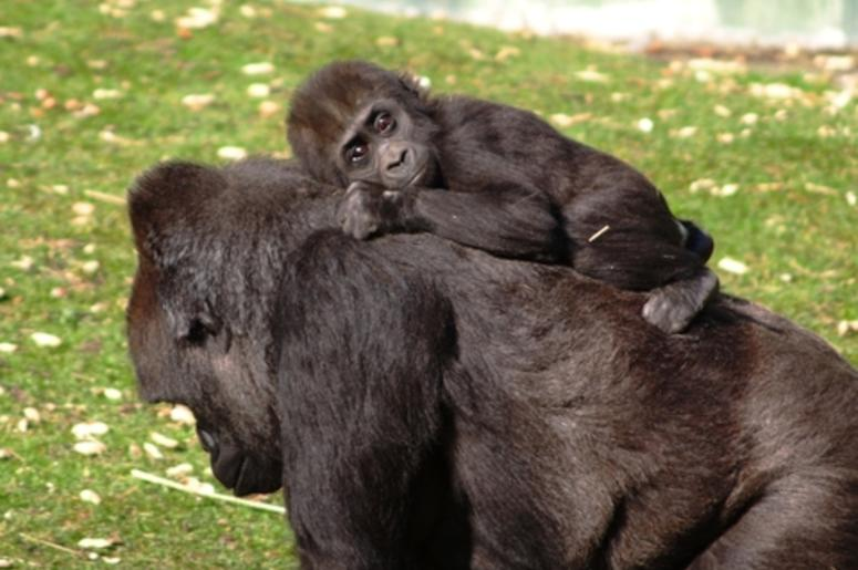 d02bb139394 The Dallas Zoo Welcomes Its Second Baby Gorilla | 100.3 Jack FM