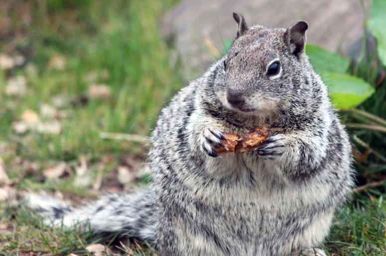 Chubby Squirrel