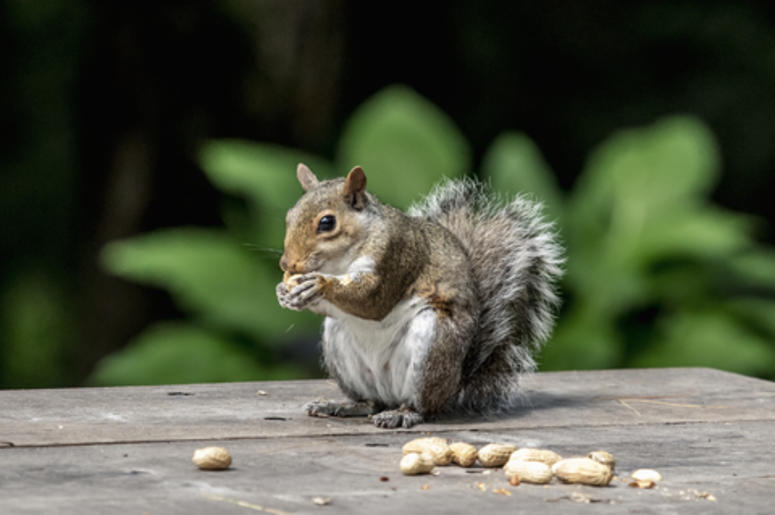 Squirrel with his peanuts