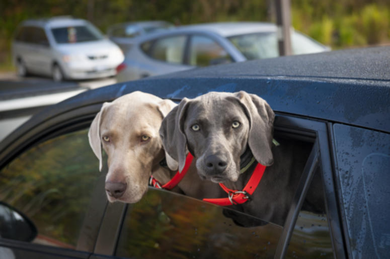 Dogs in a Car
