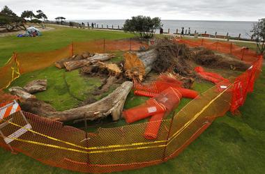 Monterey cypress tree that was toppled in Ellen Browning Scripps Park last week in La Jolla