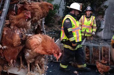 Caged chickens at San Pablo Dam Road Westbound I-80 truck wreck scene (Photo credit: KCBS Radio)