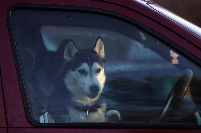 VIEMORE, SCOTLAND - JANUARY 20: A husky sits in a car during preparations for the 28th annual Aviemore Husky Sled Dog Rally on January 20, 2011 Aviemore, Scotland. Over 1,000 dogs will take part in the biggest event in the Husky dog calendar with teams co