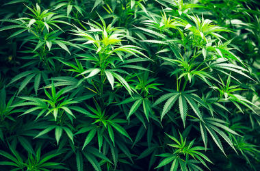 Cannabis, Marijuana Plant, Green Leaf