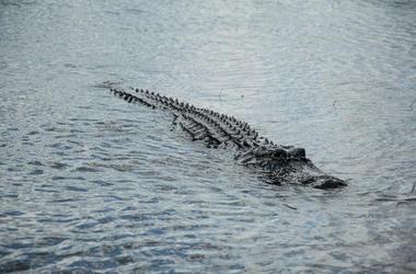 Alligato, Gator, Swimming, Lake, Water