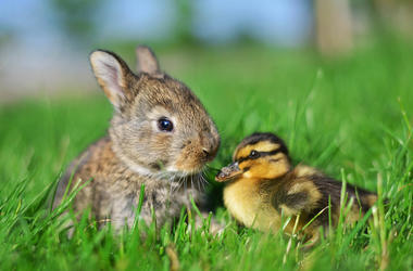Photo of a bunny rabbit next to a duckling in the grass