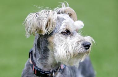 Schnauzer Yorkie, Dog, Cute, Gray, Scruffy, Grass,