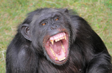 Angry Chimpanzee, Chimp, Teeth, Grass, Screaming