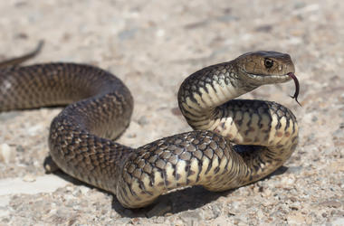 Close-up of a deadly, venomous eastern brown snake
