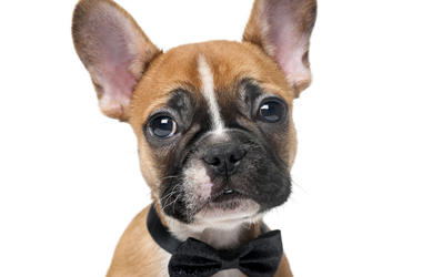 French Bulldog puppie wearing a bowtie