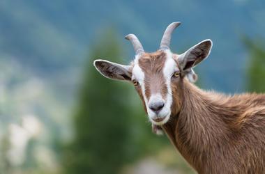 Goat, Stare, Funny
