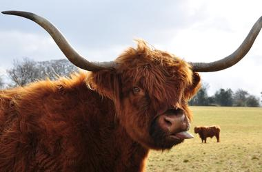 Highland cow sticking out tongue