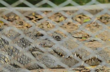 Alligator, Crocodile, Chain Link Fence, Ground