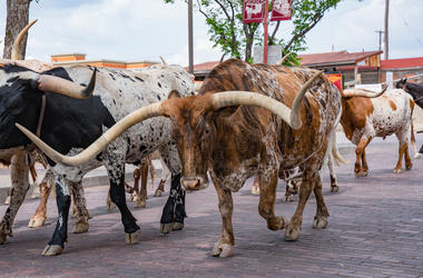 Longhorn, Cattle Drive, Fort Worth, Street