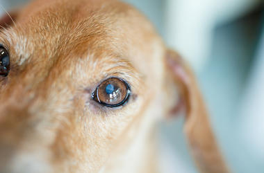 Dog, Puppy, Eyes, Cataract, Sweet, Old, Elderly