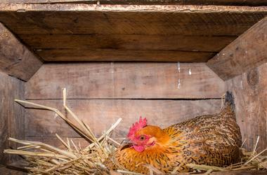 chicken_coop