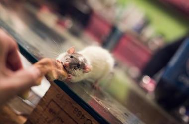 rat_eating_pizza