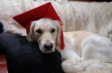 Golden Retriever, Dog, Graduation, Cap, Couch