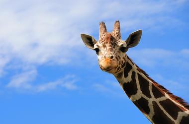 Giraffe, Face, Blue Sky