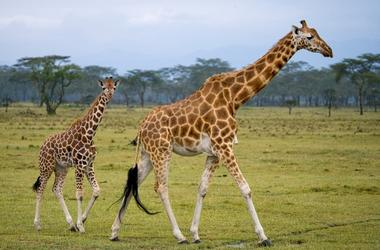 Female giraffe with a baby