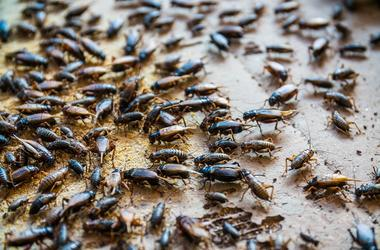 Close up of Crickets in farm, For consumption as food And used a. Meal, cultural.