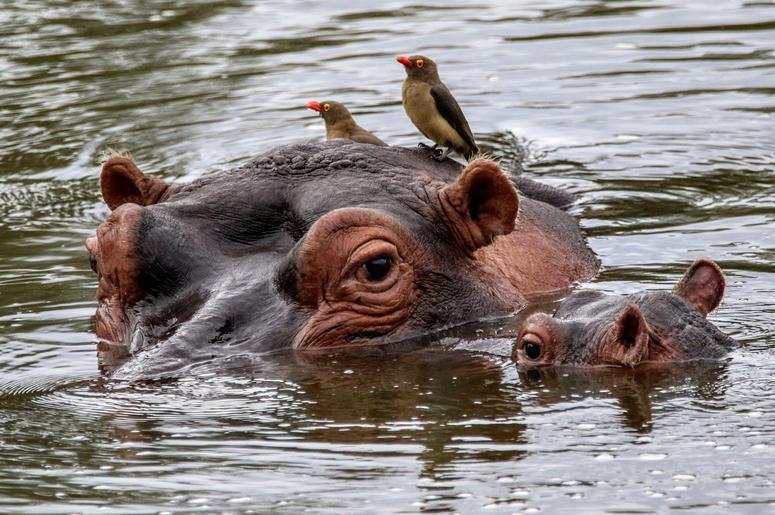 baby_hippo