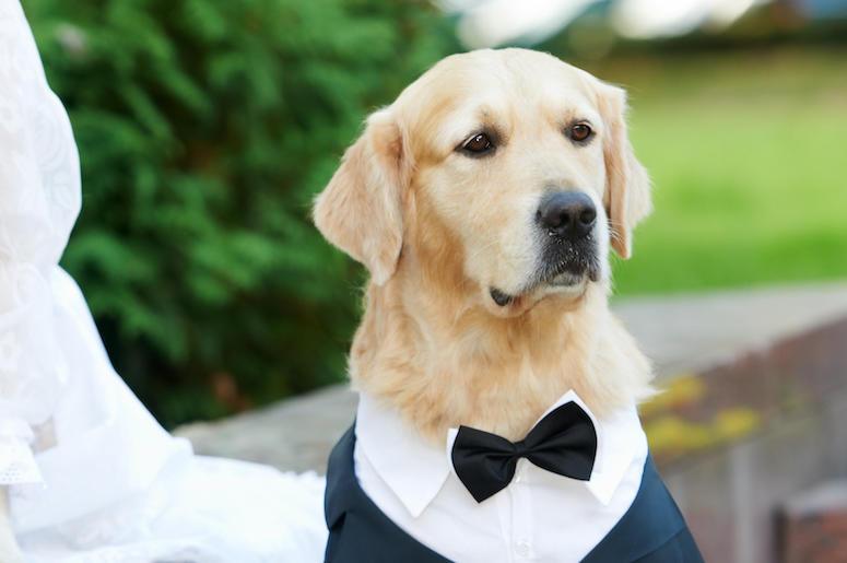 Golden Retriever, Dog, Tuxedo, Good Boy