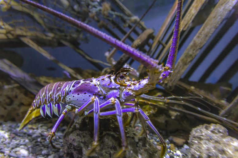 Maine Lobsterman Catches Extremely Rare Purple Lobster