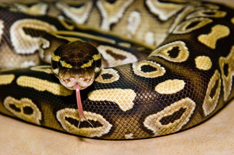 Python, Snake, Curled, Tongue