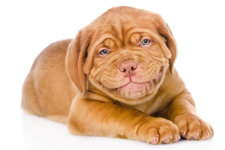Happy smiling Bordeaux puppy dog. isolated on white background