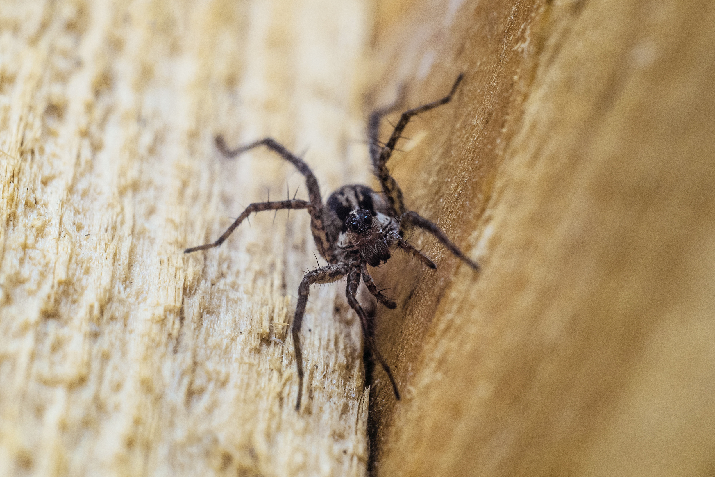 Your house could be attracting brown recluse spiders | 98 1
