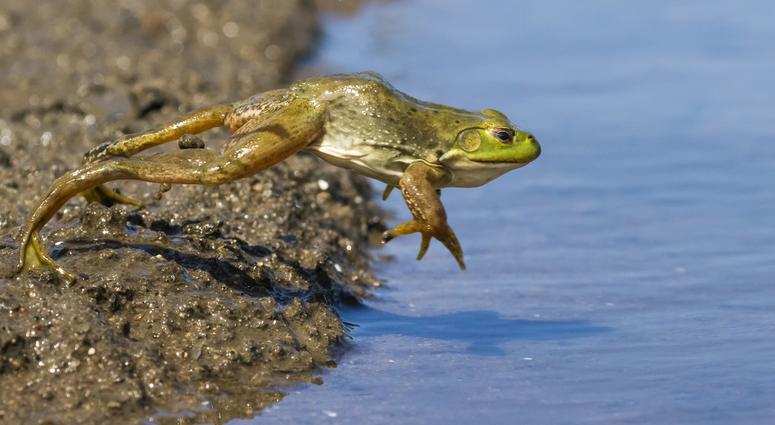 Bullfrog jumping into a pond