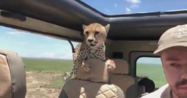 Cheetah climbs into safari car.