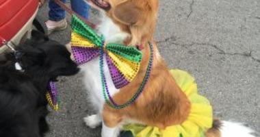 Dog in festive mardi gras costume at pet parade