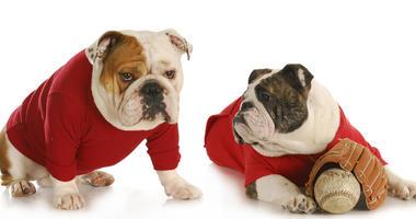 Dog baseball teamates - two english bulldogs wearing red shirts with baseball and glove