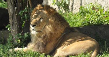 Lion in the zoo, big male wild cat