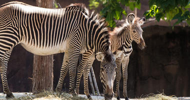 Grevy's zebra foal Colton at St. Louis Zoo